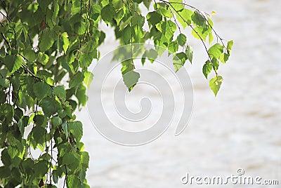 Green birch leafage