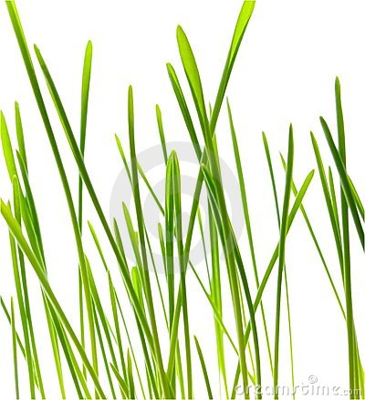 Green blade of grass - isolated