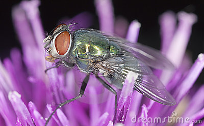 Green bluebottle fly sitting on thistle