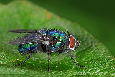 Green bottle-fly (Lucilia)