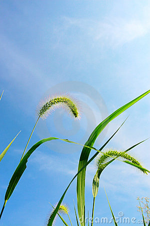 Free Green Bristle Grass , Clouds And Sky Royalty Free Stock Photo - 5837425