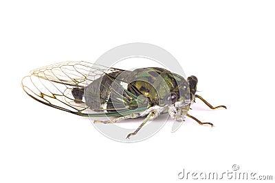 Green bug.