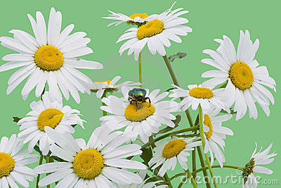 Green bug and white camomiles