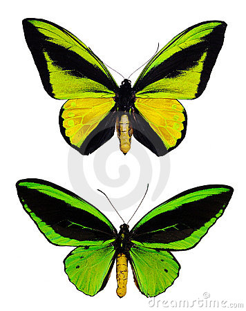 Free Green Butterflies Royalty Free Stock Images - 1643649
