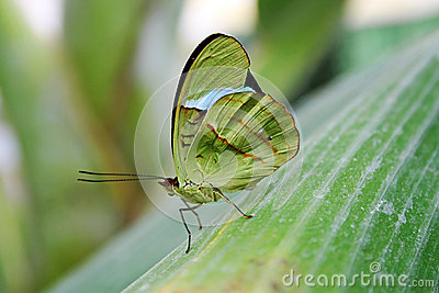 The green butterfly