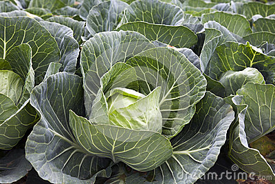 Green Cabbages Details