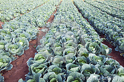 Green Cabbages on a Farm