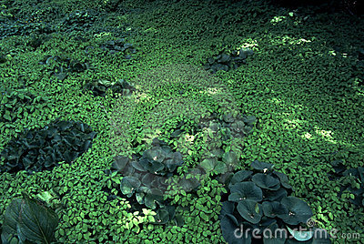 Green Carpet of Floating Pond Plants