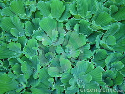 Green carpet of water lettuce