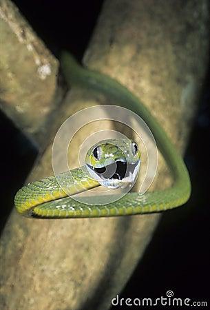 Green cat eyed snake