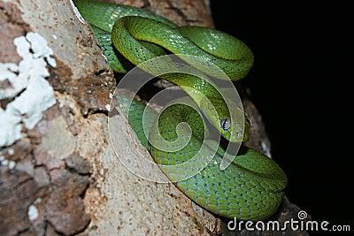 Green cat-eyed snake