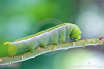 Green caterpillar.