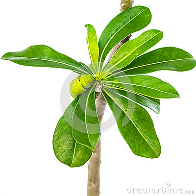 Free Green Caterpillar On Tree Stock Photos - 29776803