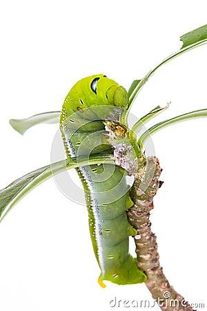 Free Green Caterpillar On Tree Royalty Free Stock Photo - 29776895