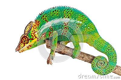 Green Chameleon on branch