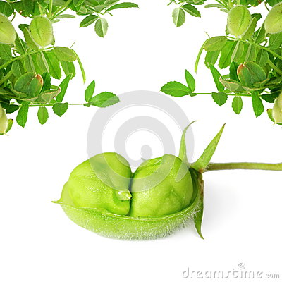 Free Green Chickpeas  In Pod With Plant On Pure White Background Stock Photography - 57289102