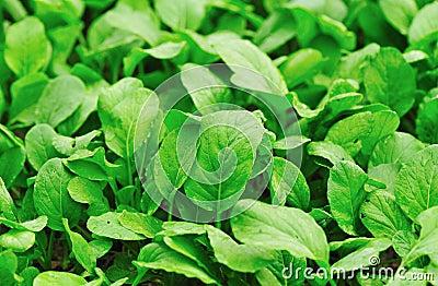 Green choysum