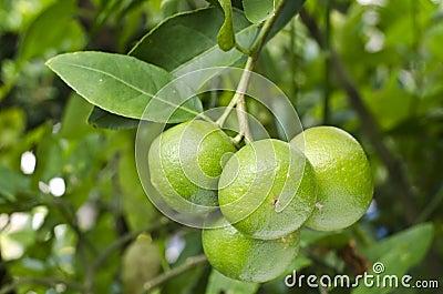 Green citrus.