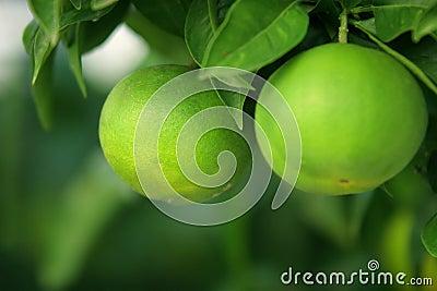 Green Citrus Fruits