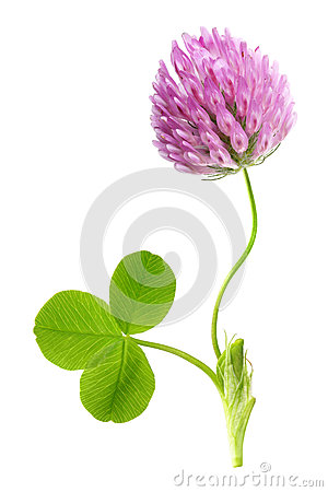 Free Green Clover Leaf And Flower Isolated Royalty Free Stock Photos - 55472448