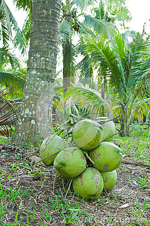 Green coconuts fruit