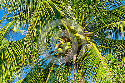 Green coconuts on the palm tree