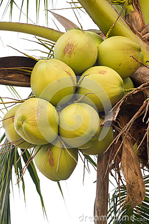 Green coconuts on tree
