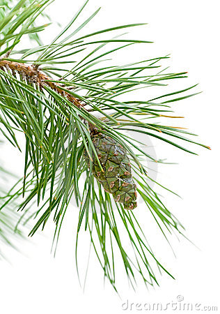 Green cone on a pine branch