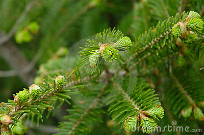 Green conifer branchlets.