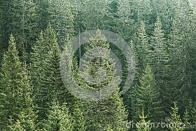 Green coniferous forest with old spruce, fir and pine trees Stock Photo