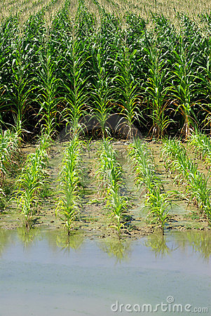 Green cornfield and water.