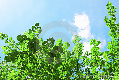 Green crown and sky