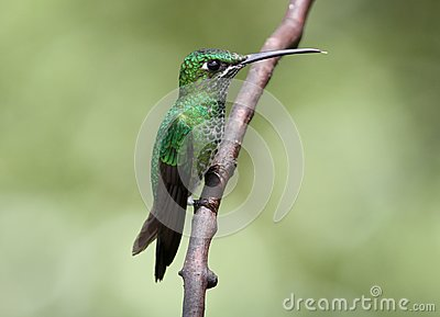 Green-crowned Brillant Heliodoxa jacula