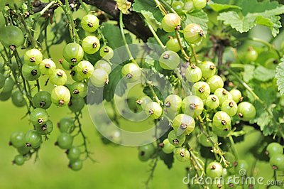 Green Currants Growing on Shrub