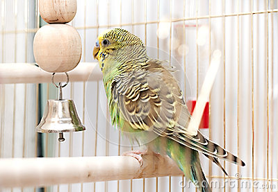Green domestic budgie sitting in cage