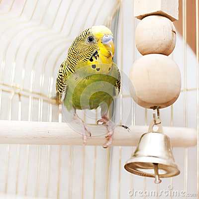 A green domestic budgie sitting in cage