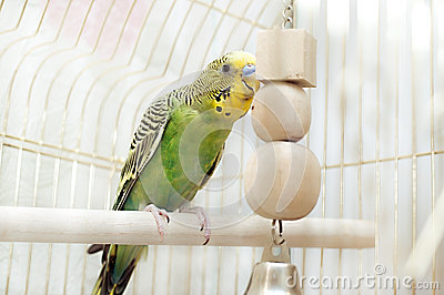Green domestic budgie