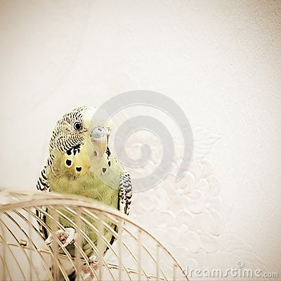 A green domestic budgie