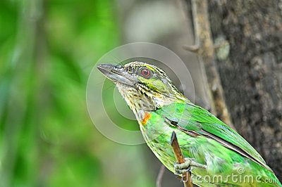 Green-eared Barbet Bird