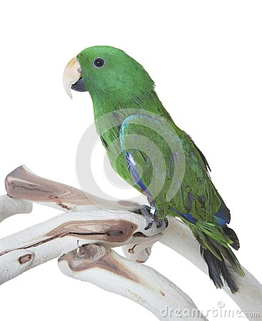 Green Eclectus Parrot isolated on white background