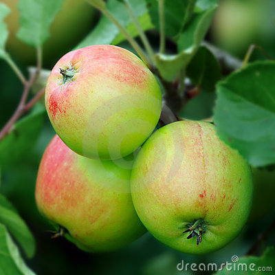 Free Green English Apples, With A Red Blush, Ripening Royalty Free Stock Photography - 10258687