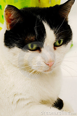 What are black & white cats called?