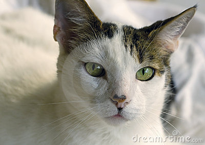 Green-eyed cat gazes