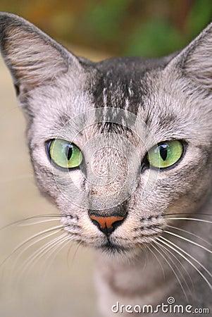 Green eyed cat staring