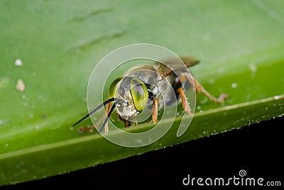 A green eyed cuckoo bee