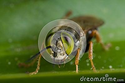 Green eyed, Larridae cuckoo wasp