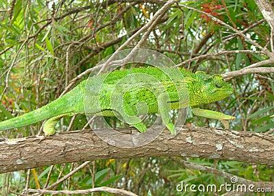 Green Female Jackson s Chameleon lizard, Chama