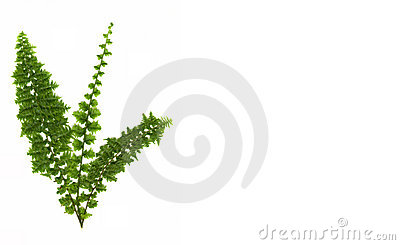 Green fern isolated on white