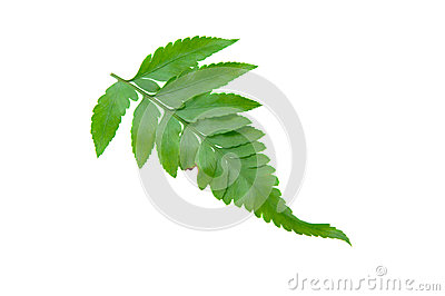 Green Fern Leave