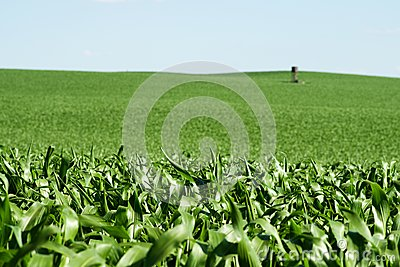 Green field with corn and tower
